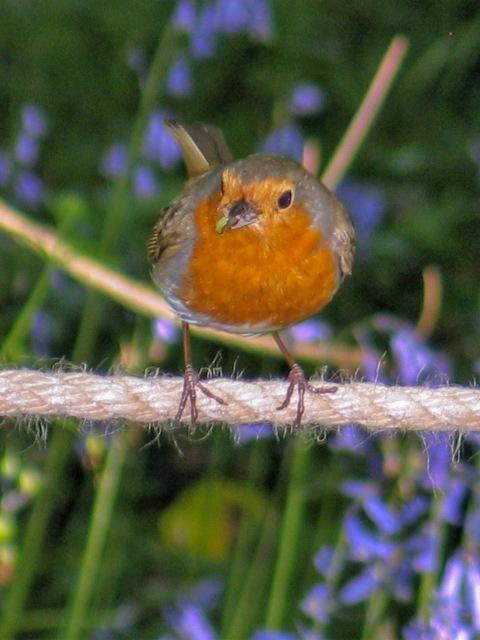 robin holding grub - Godolphin woods