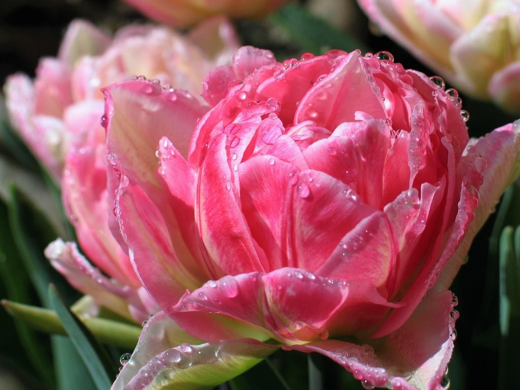 Pink tulip - spring garden Ednovean Farm