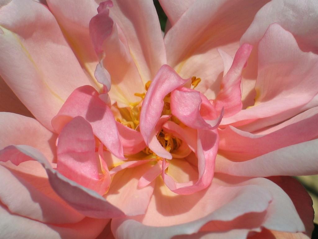 Rose brings memories