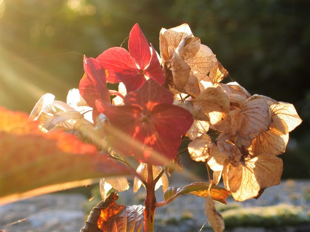 Fading hydrangea -autumn garden ednovean farm