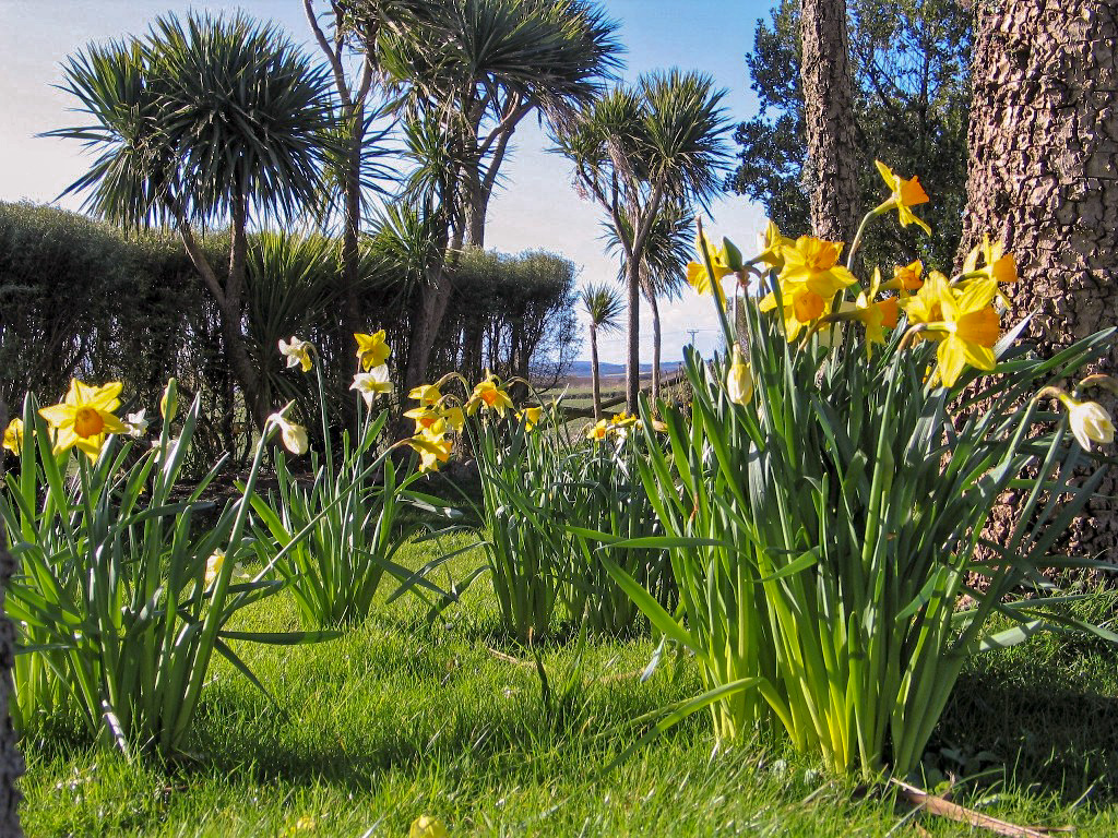 Spring brings a renaissance to the garden at Ednovean Farm with swathes of Daffodils
