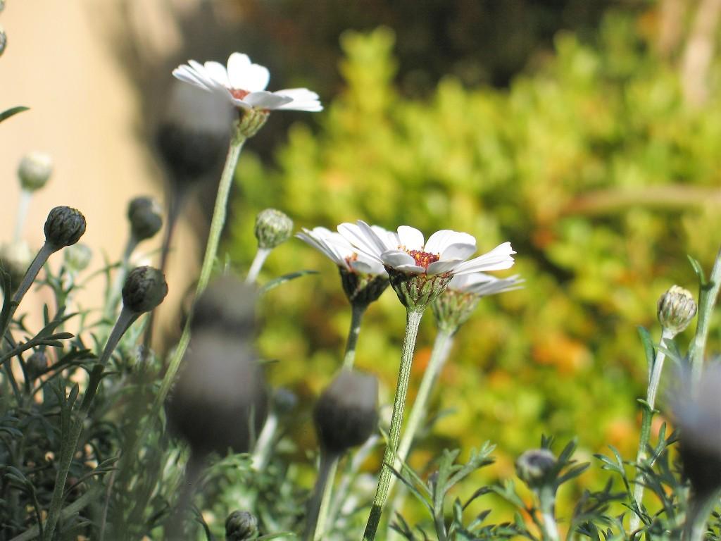 spring garden - new daisies