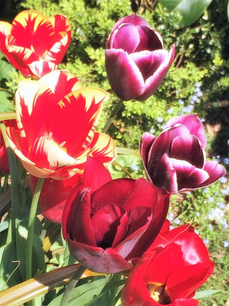 vivid tulips in a spring garden