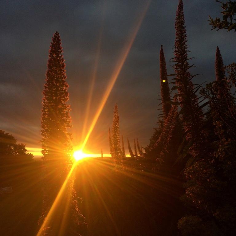 Sunset through Echium spires - prolific in the sub tropical garden of Ednovean Farm