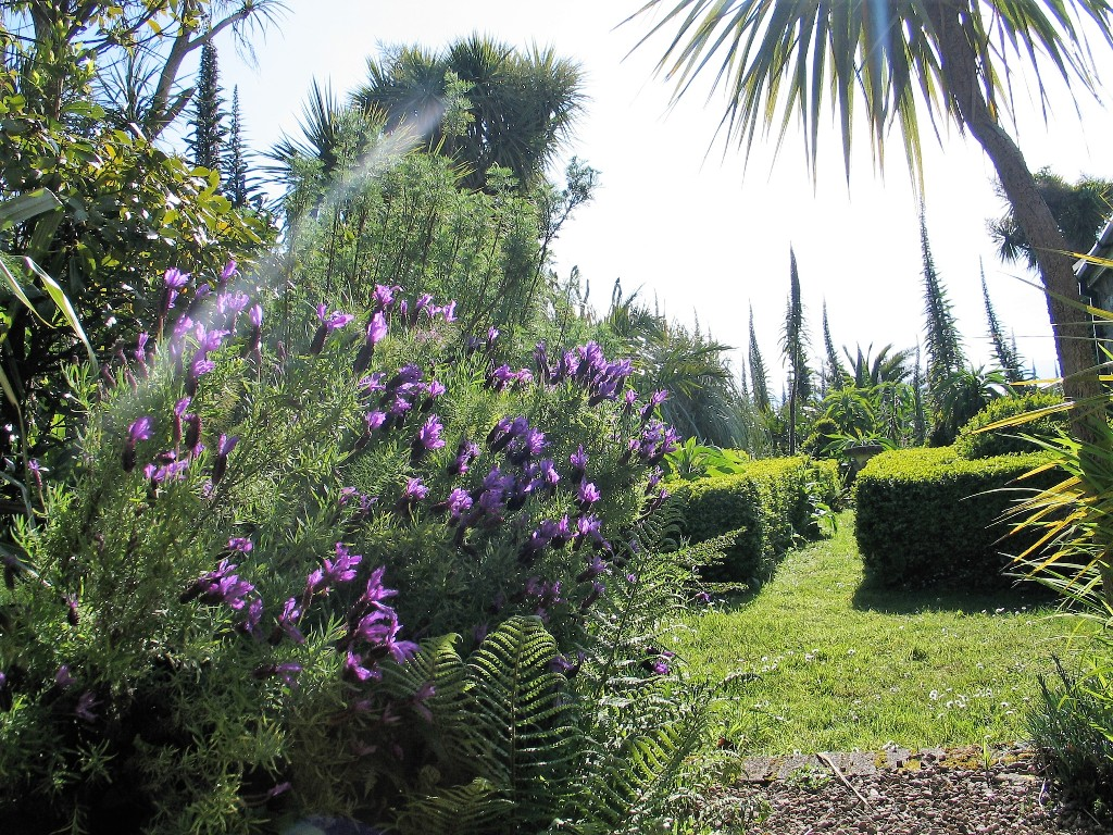 French inspired lavender and formal box hedges - May garden diary Ednovean Farm