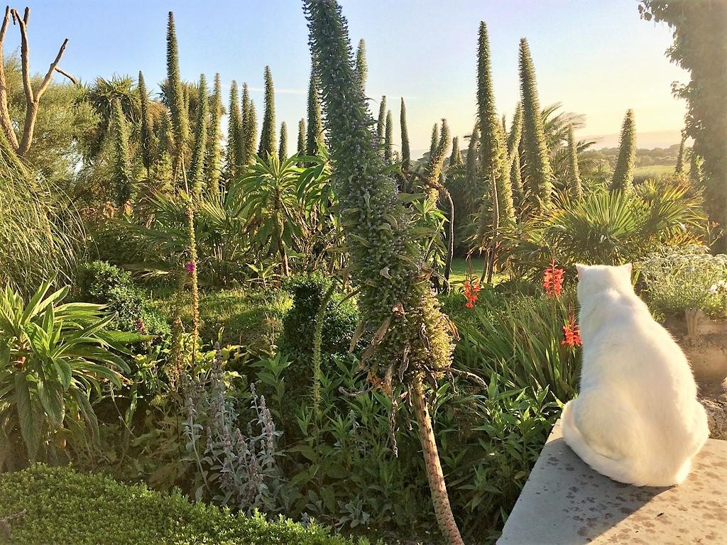 Echiums in the sub tropical gardens of Ednovean Farm