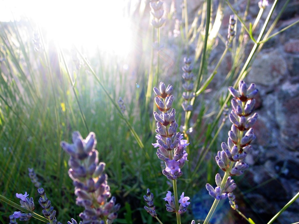Summer light in the courtyards gives the lavender a romantic glow