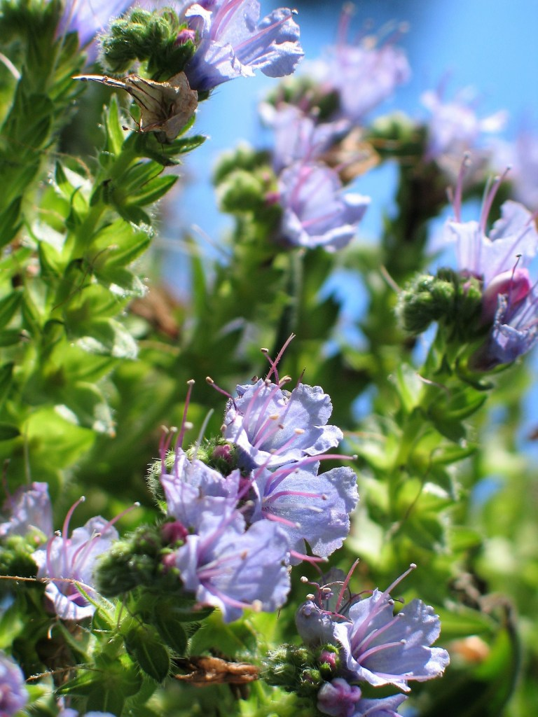 Close up of the flowers of a spire of Echium pininana - a wild flower from the Canary Islands