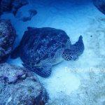 黒島のウミガメ。シュノーケリングにて。