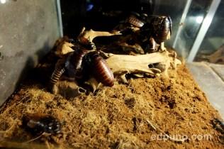 madagascar roaches residence inn zoo