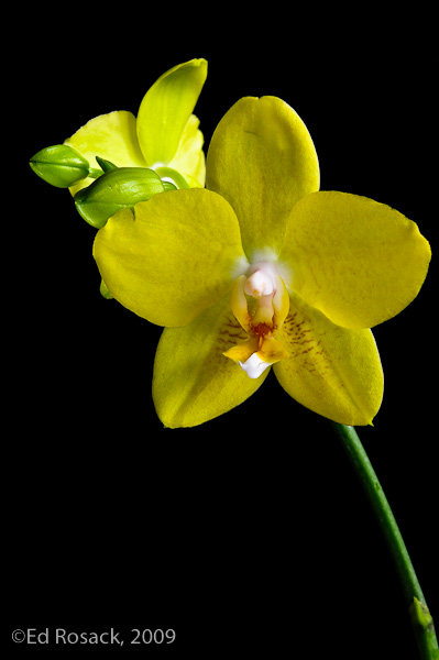 Black background orchid