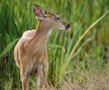 Mule Deer - Viera Wetlands