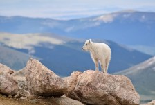 Baby Mountain Goat - Colorado