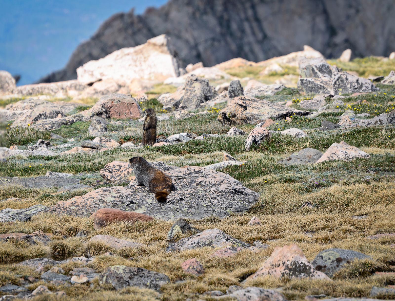 A pair of Marmots - Colorado