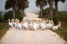 Pelicans protest - pod plugs path. Paparazzi progress postponed