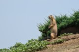 Prairie Dog - Colorado
