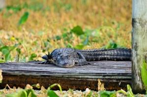 Waving gator