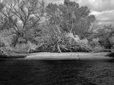Weathered wood: Gnarly old tree along the Indian River