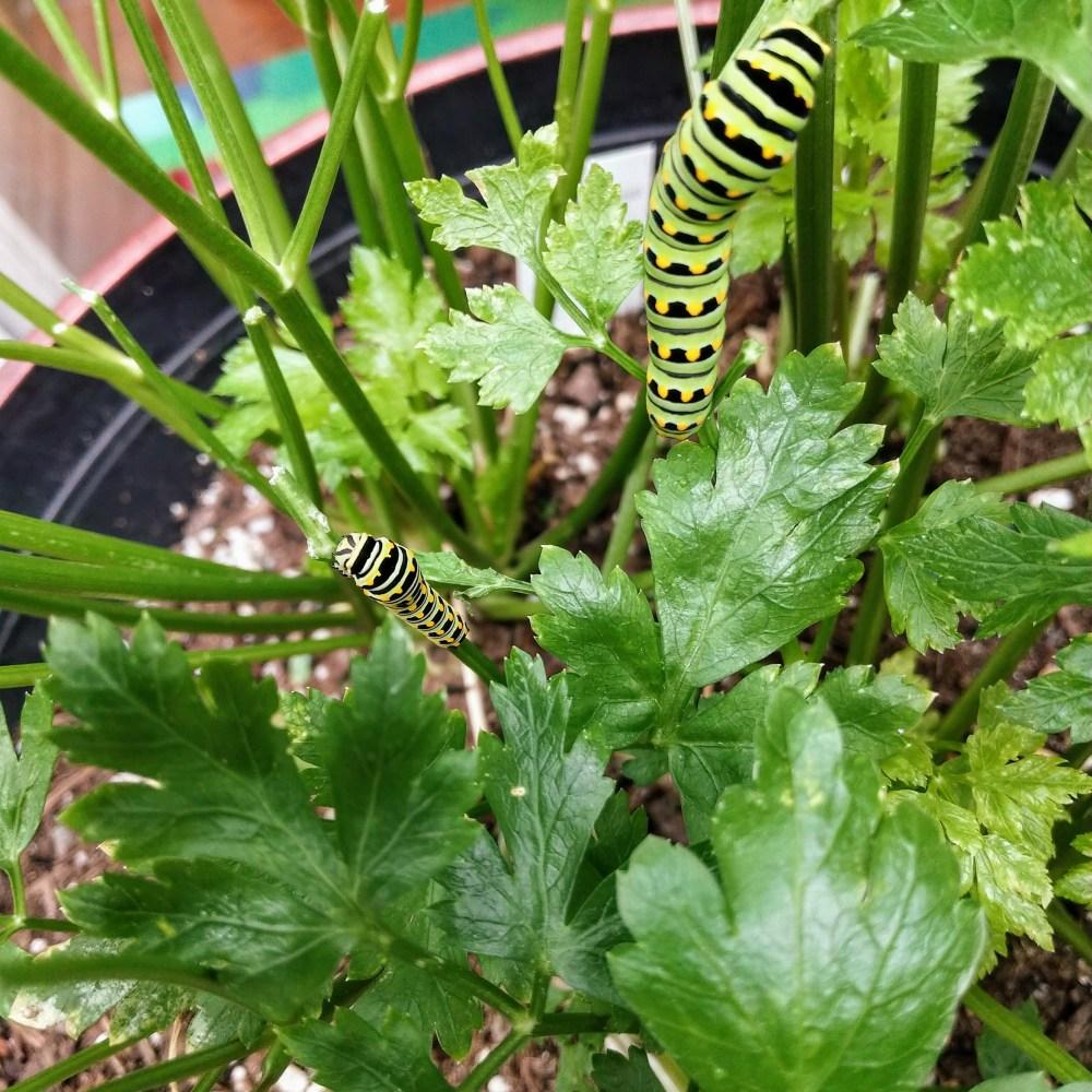 Caterpillars crawling on parsley plant