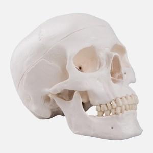 1020159 07 1200 1200 Classic Human Skull Model 3 part