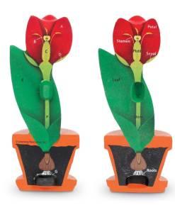 1905 cross section flower 2 sh 1