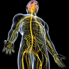 Sistema Nervioso Neurovegetativo Entérico (I): Estructura y Función Por: Brian Mariños
