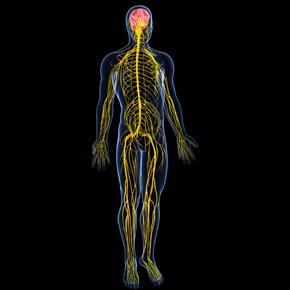 Sistema Nervioso Neurovegetativo Entérico (II): Interacciones y Comunidad Intestinal Por: Brian Mariños