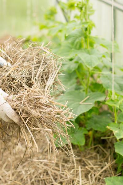 Menggunakan beberapa inci jerami atau irisan daun 12 sampai 18 di sekitar pangkal setiap tanaman akan memiliki manfaat besar bagi kesehatan dan kesuksesan tanaman dalam jangka panjang.
