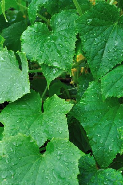 Sinar matahari pagi dapat membantu mengeringkan embun dari tanaman mentimun, yang penting untuk menjauhkan jamur dan lumut.