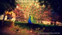 El pavo real acompaña su cortejo con diferentes sonidos