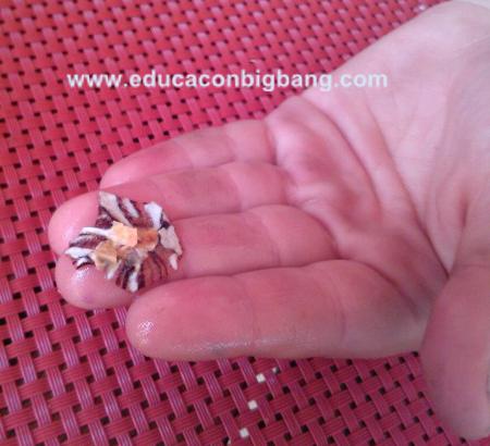 Concha de lapa destruída