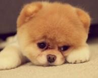 pequeno-cachorro-chow-chow