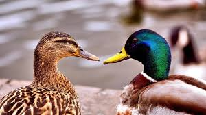 cuidados pato domestico
