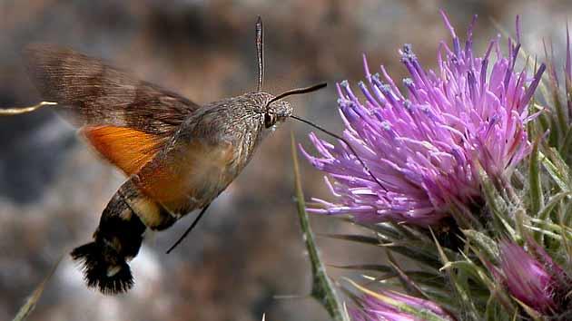 la mariposa colibri en españa