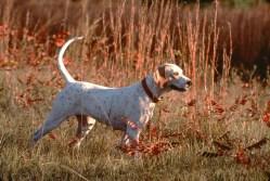 adiestramiento perro de caza