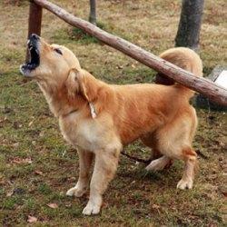 Como educar a un perro para que no ladre