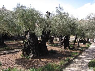 Garden of Gethsemane (Mount of Olives)