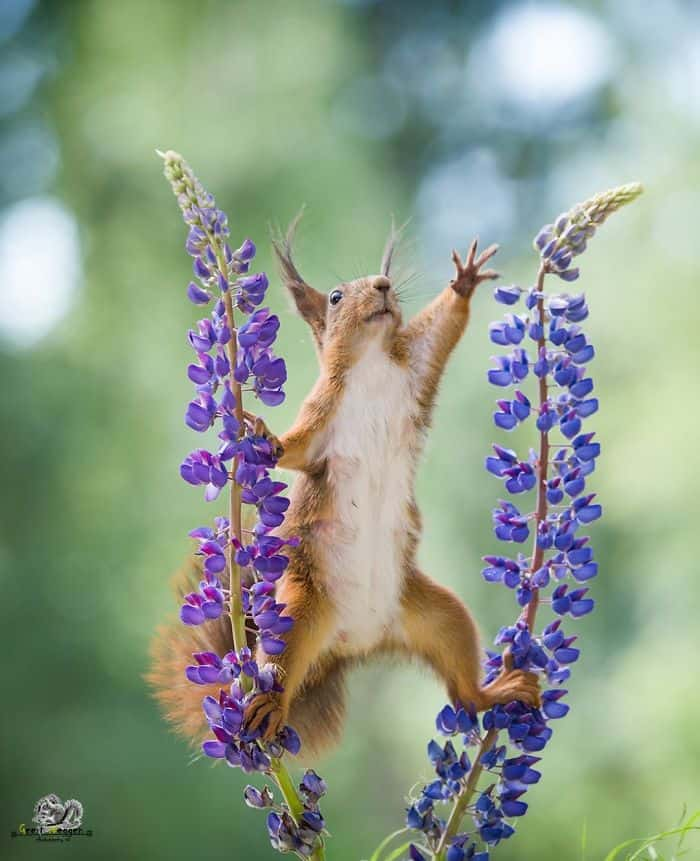 A squirrel balancing between two flowers