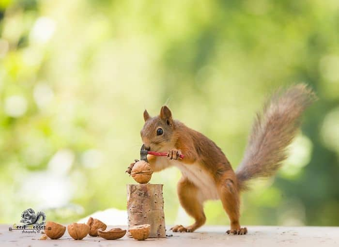 A squirrel seemingly using a small axe to open nuts