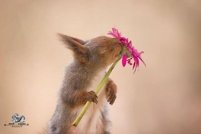 A squirrel with eyes closed with a flower