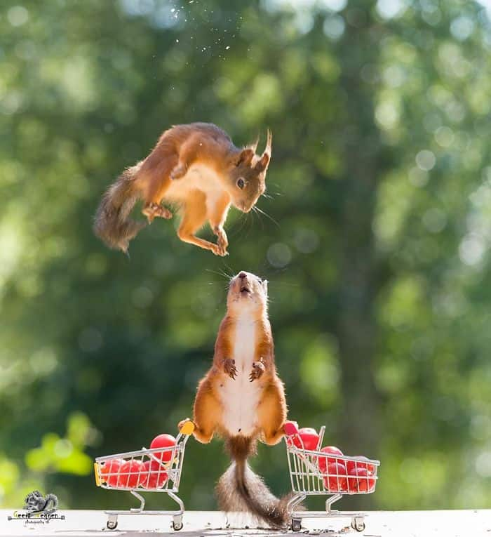 Squirrels performing a routine