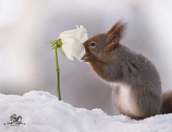A squirrel smelling a flower in the snow