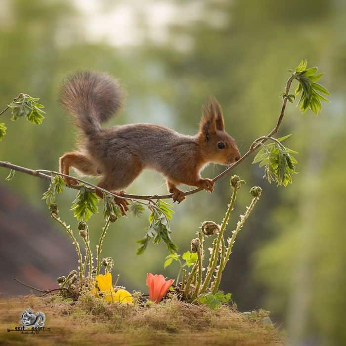 A squirrel balancing on a small plant branch above flowers