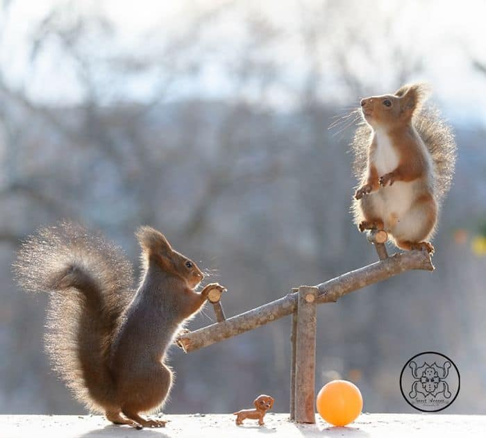 Squirrels on a seesaw