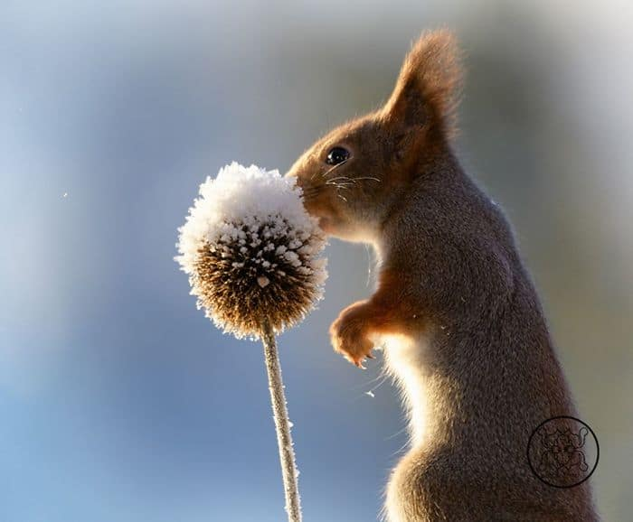 A squirrel with a plant in the snow
