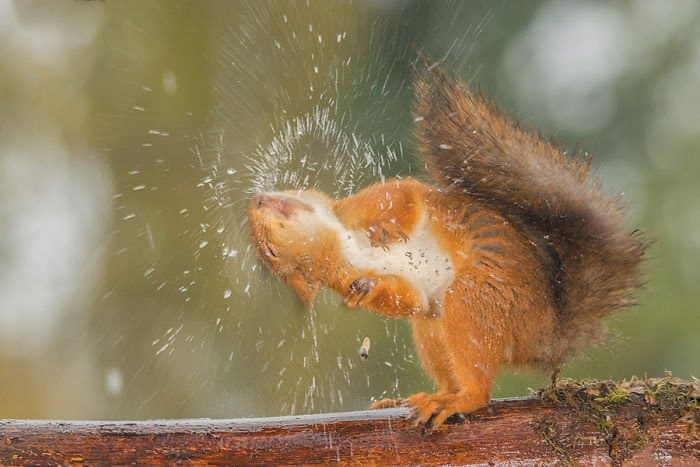 A squirrel shaking off water