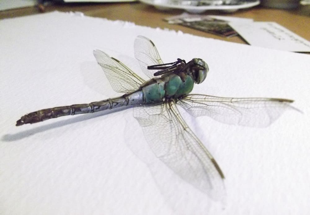 Relatable Female Dragonflies Play Dead To Avoid Male Advances