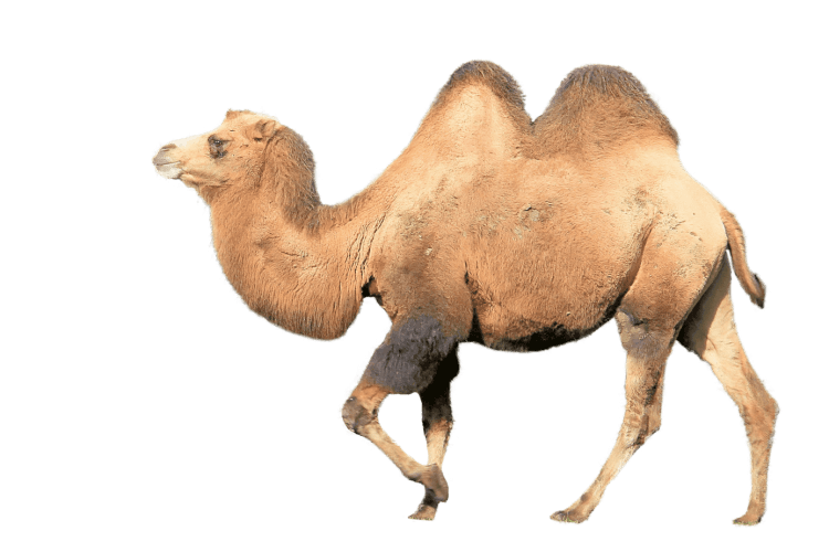science facts camel