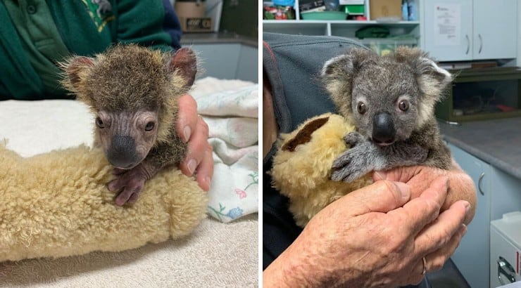 baby koala makes amazing recovery after almost dying australia bushfires