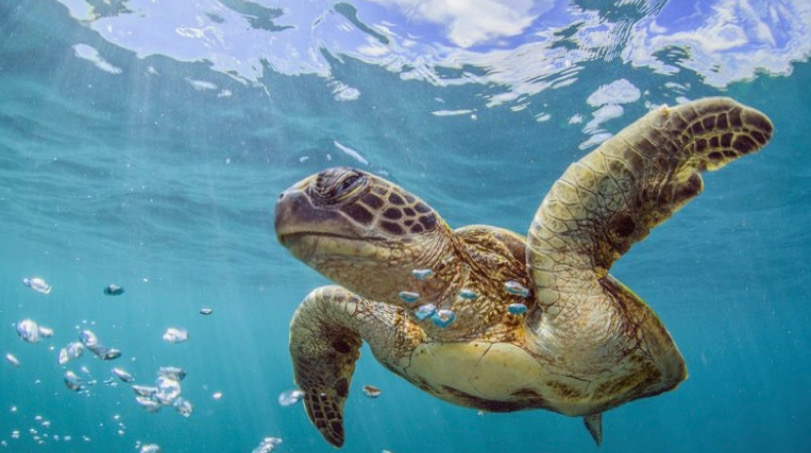 olive Ridley in water